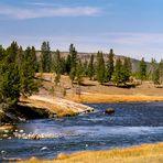 Bison im Yellowstone River - Yellowstone N.P. - Wyoming - USA