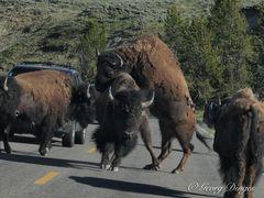 Bison im YNP