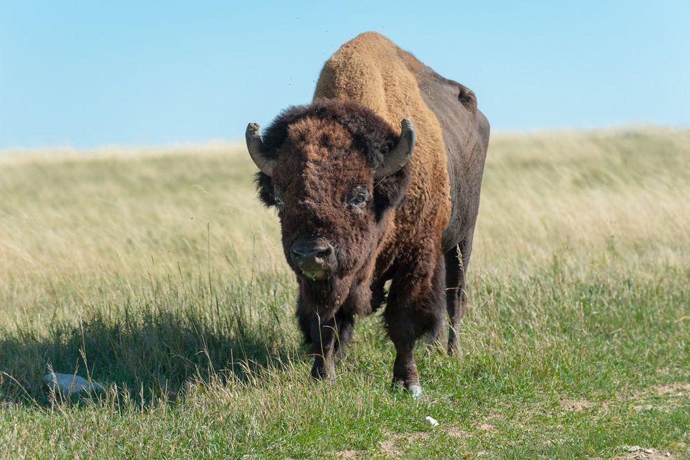 Bison in den Badlands