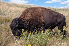 Bison in den Black Hills