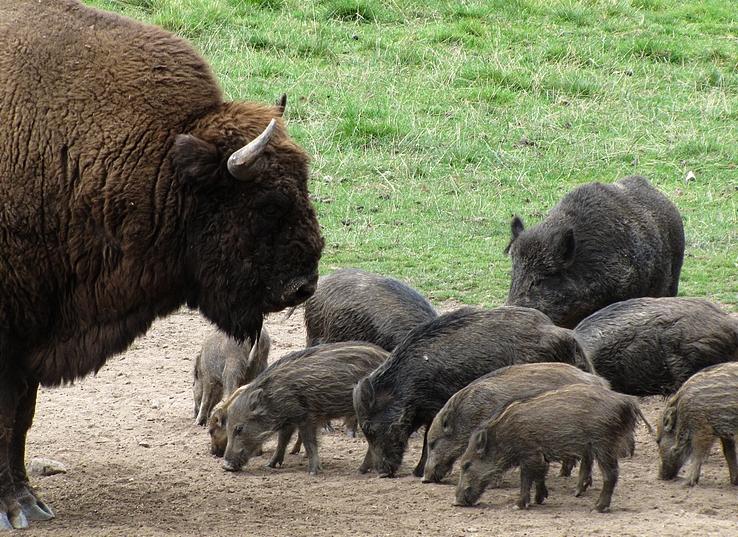 Bison vs. Schweinebande