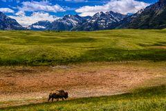 Bison, Waterton Lakes National Park, Kanada