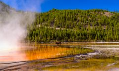 Bisonbulle am Grand Prismatic Spring, Yellowstone NP, Wyoming, USA