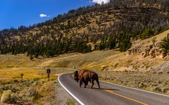 Bisonbulle auf dem Highway 212, Lamar Valley, Wyoming, USA