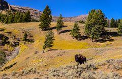 Bisonbulle, Lamar Valley, Wyoming, USA