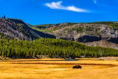 Bisonbulle, Madison River Valley, Wyoming, USA