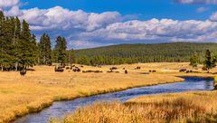Bisonherde am Nez Perce Creek, Yellowstone NP, Wyoming, USA