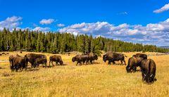 Bisonherde nahe Nez Perce Creek, Yellowstone NP, Wyoming, USA