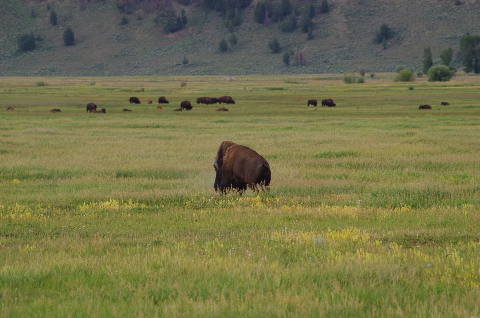 Bisonkampf im Grand Teton NP USA