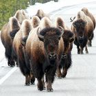 Bisons coming