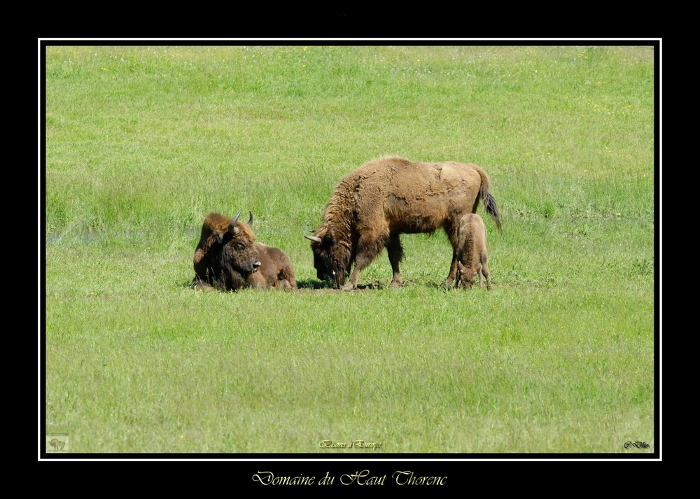 bisons d'europe