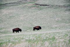 Bisons im Badlands Nationalpark,  USA