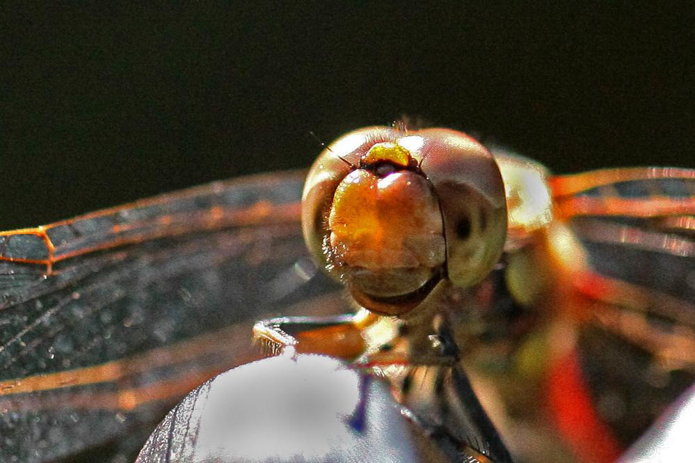 bitte lächeln - Blutrote Heidelibelle (Sympetrum sanguineum)