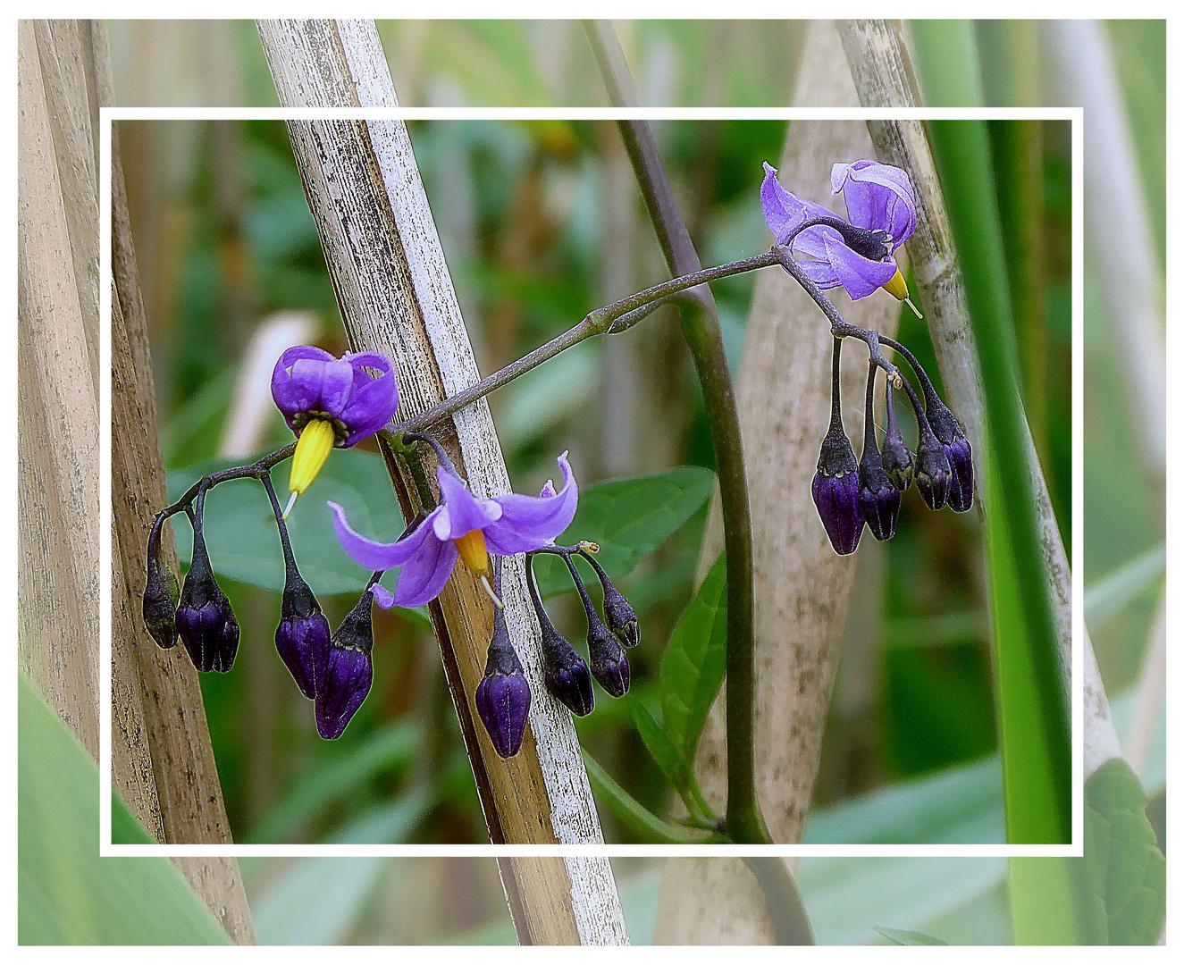 Bittersüßer Nachtschatten (Solanum dulcanara)