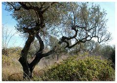 bizarre Olivenbäume....