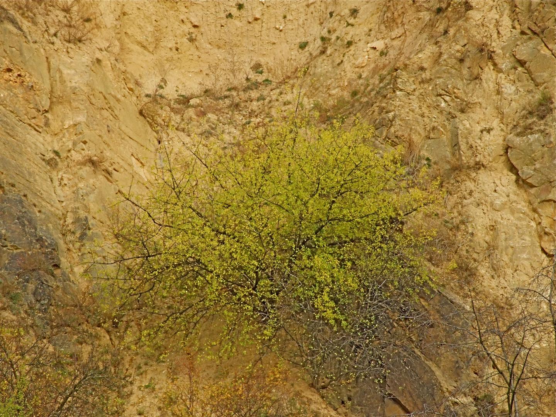 °°° Bizarre Sträucher an den Syenit-Granit-Massiv Steilhängen im Elbtal °°°