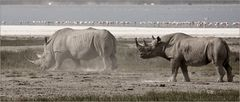 Black and White - Rhino