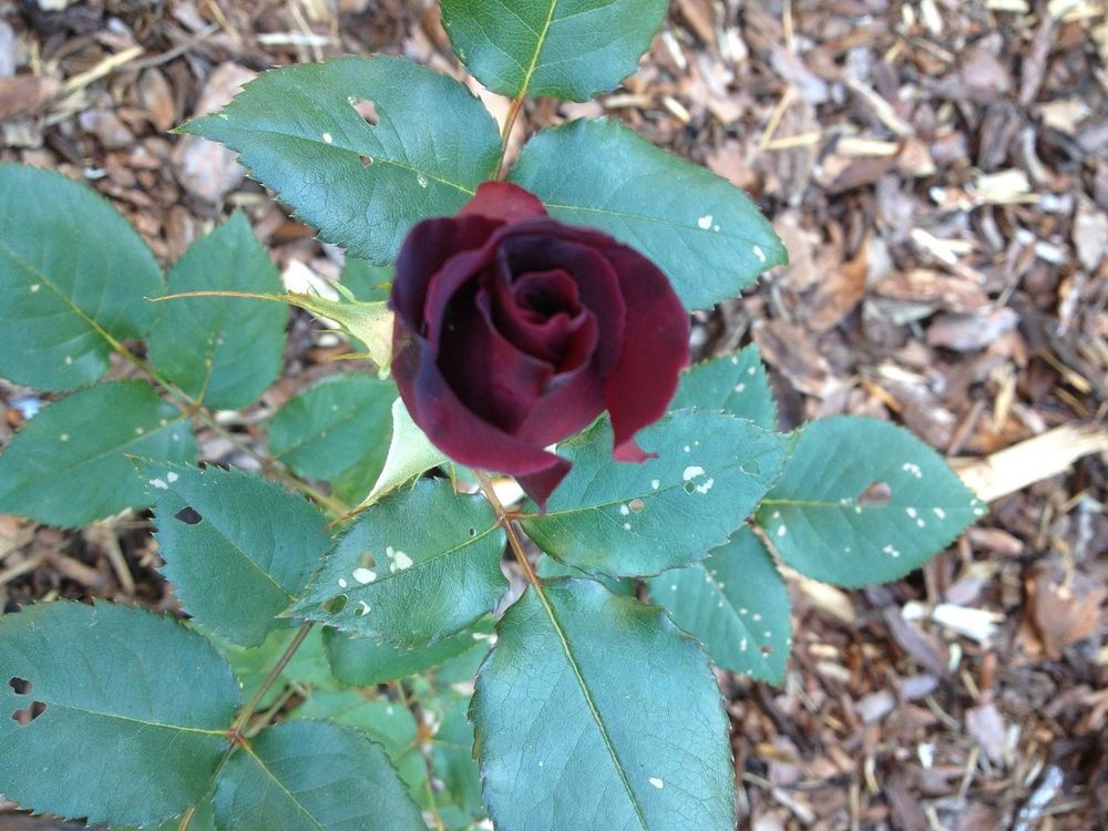 black baccara rose foto bild pflanzen pilze flechten bl ten kleinpflanzen rosen. Black Bedroom Furniture Sets. Home Design Ideas