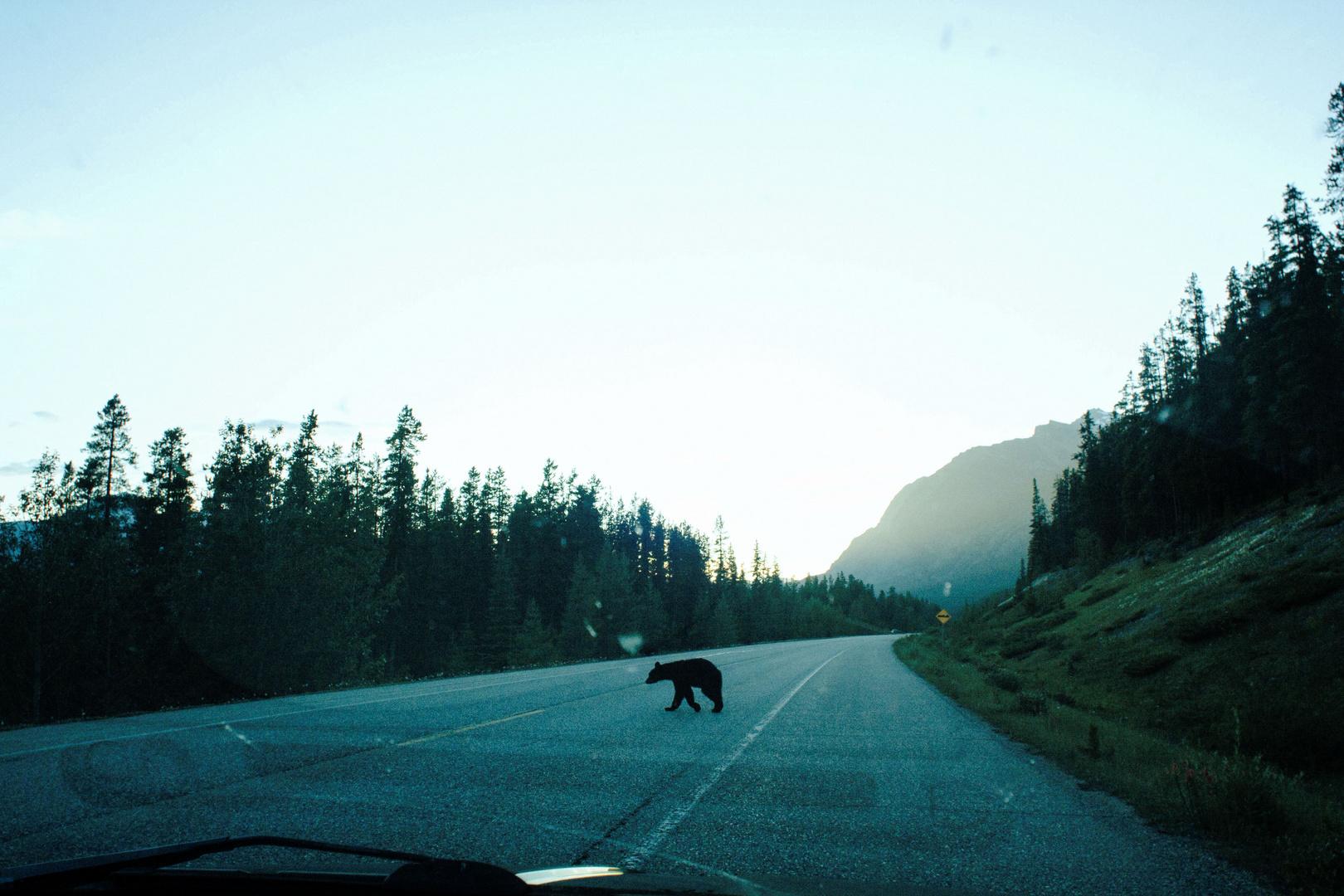 Black Bear Crossing Road