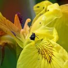 ...  black beetle on a yellow flower