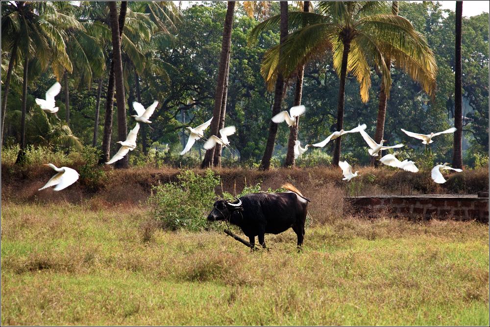 black bull and white birds