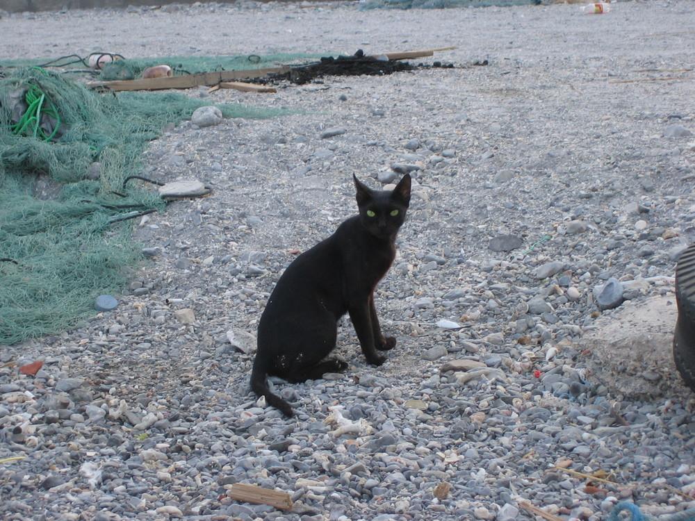 Black Cat from Oman