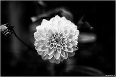 Black Flower³