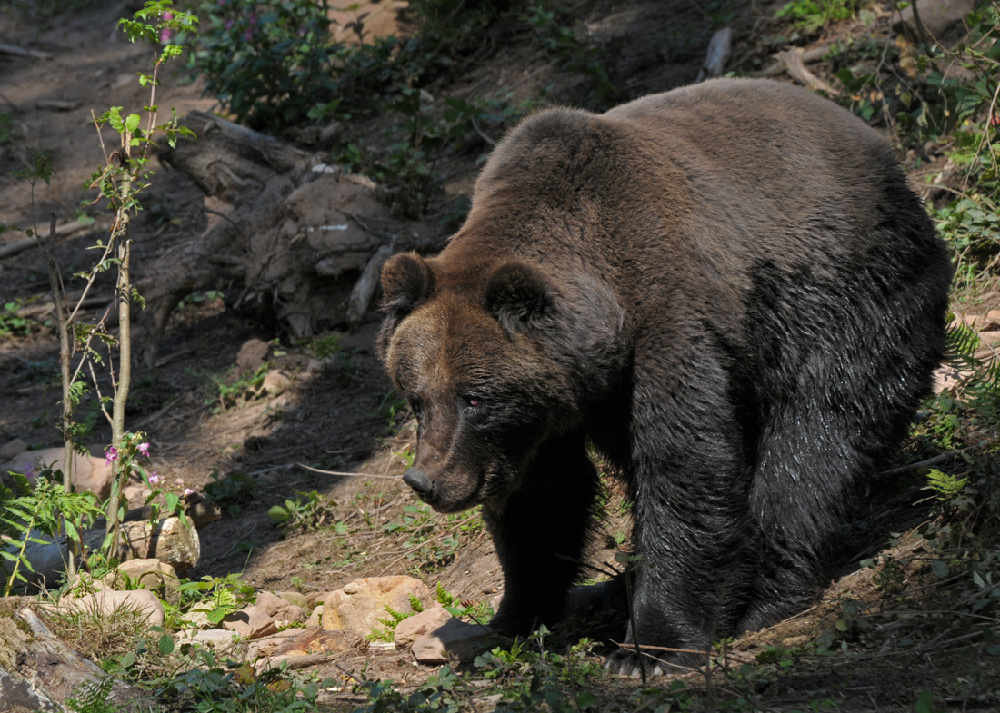 Black-Forest-Bear