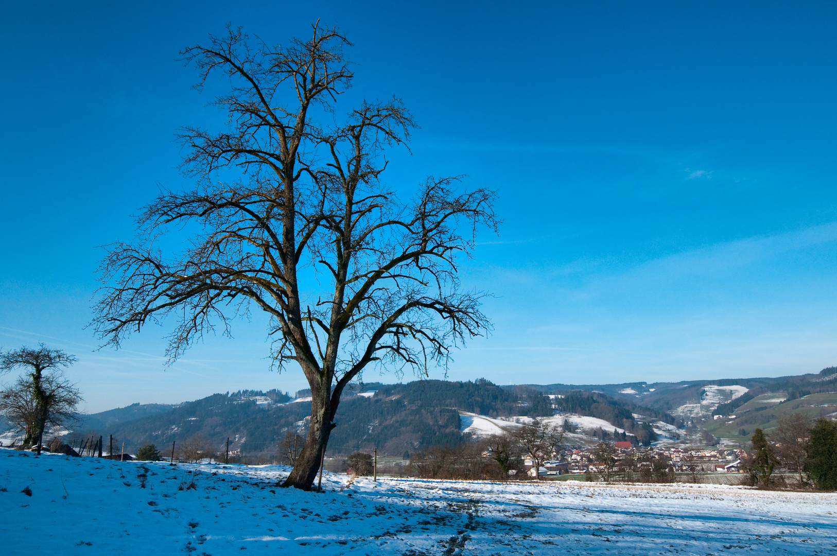 black forest.lonley tree