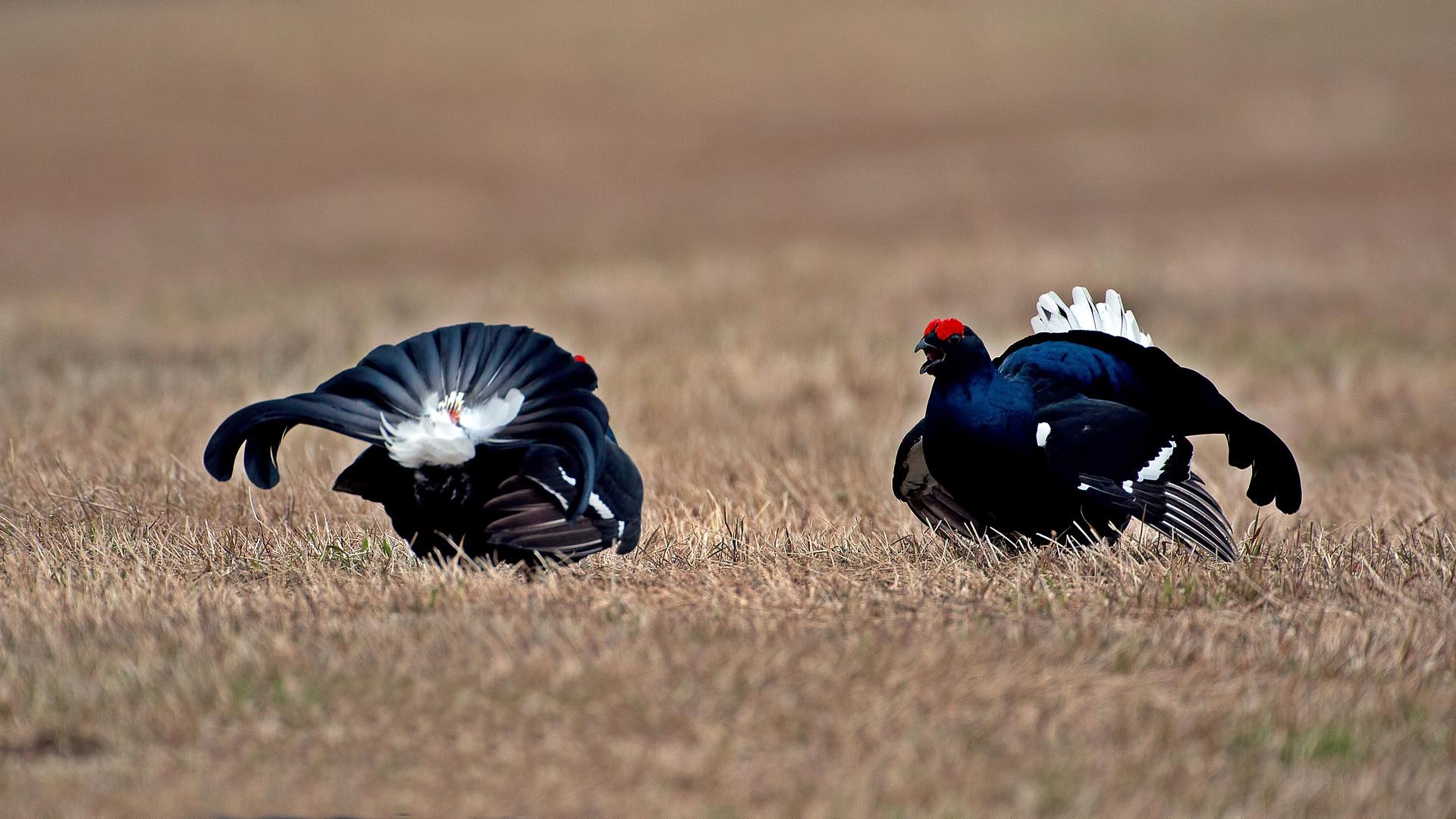 Black grouse lekking 1