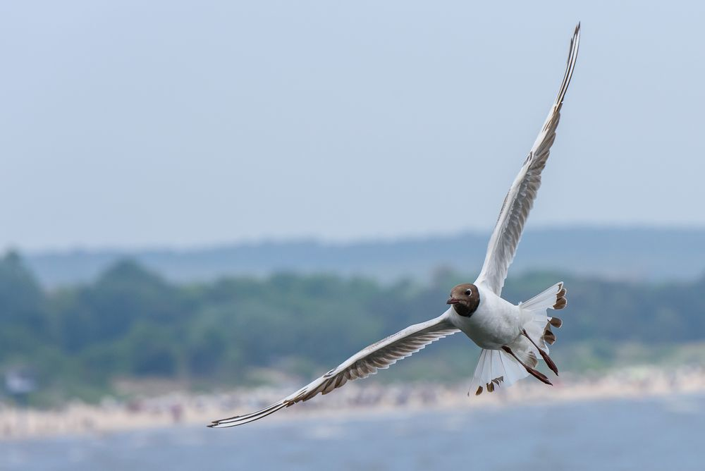 black-headed gull ...