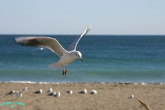 Black-headed Gull / Gaviota reidora (Larus radibundus)