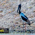 Black-necked Stork ( Ephippiorhynchus asiaticus).