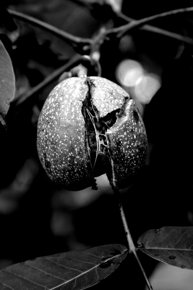 black nut