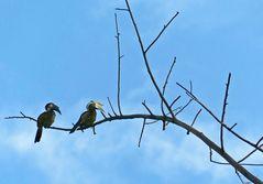 Black oder Malaysian Hornbill