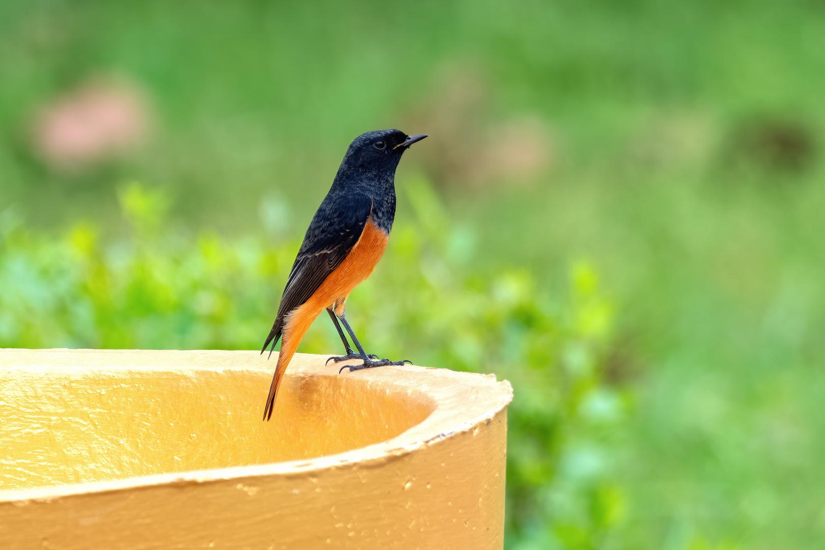 Black Redstart rufiventris