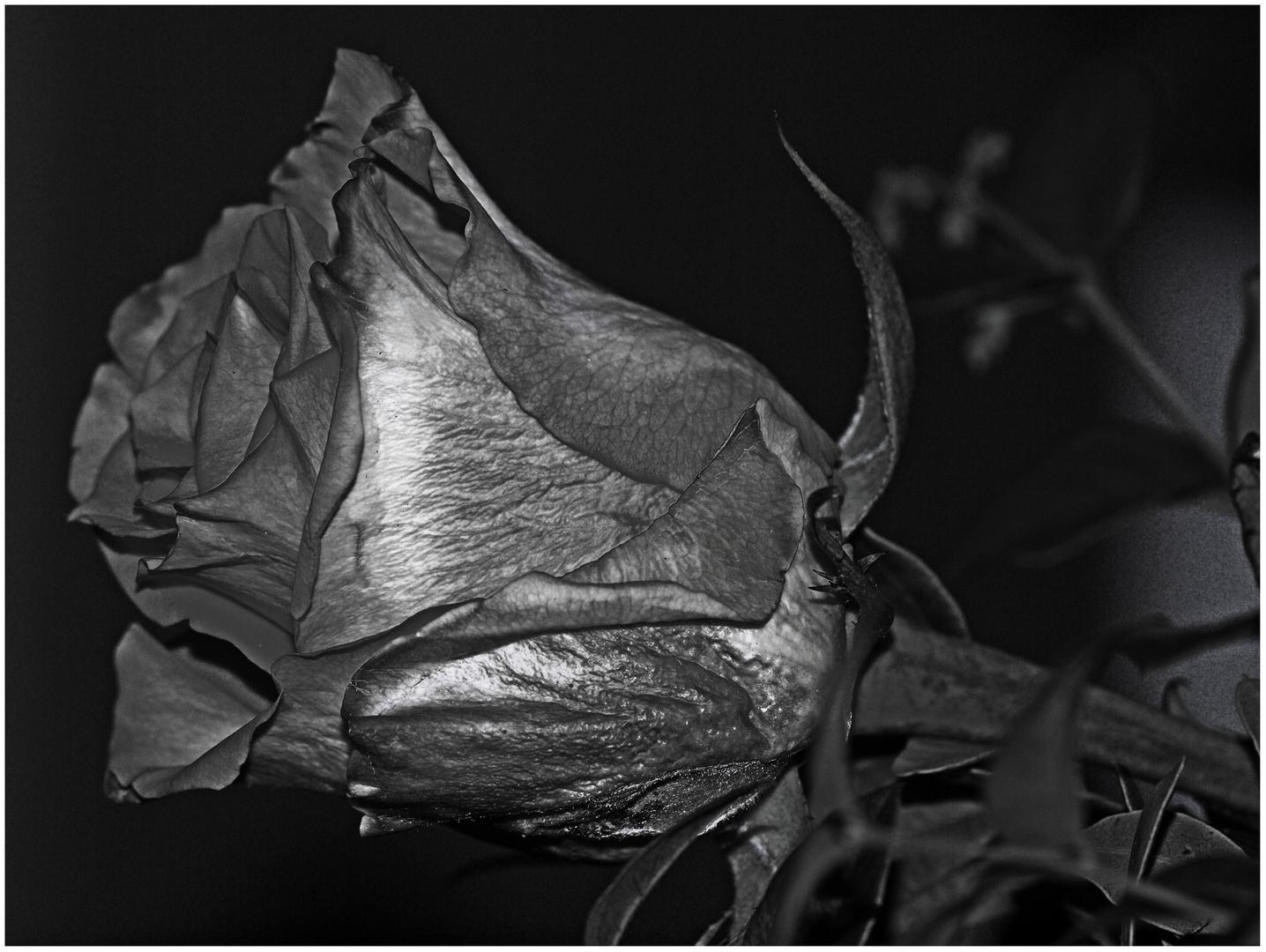 Black Rose ...