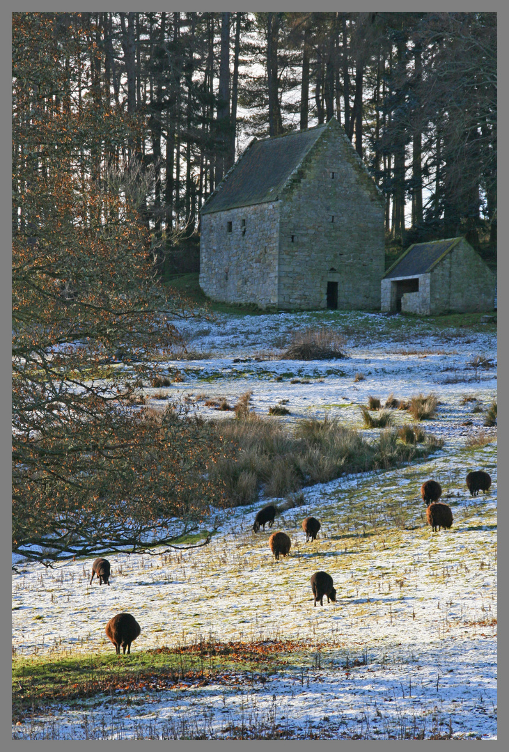 Black sheep grazing in front of holystone bastle 2