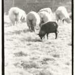 black sheep - white world