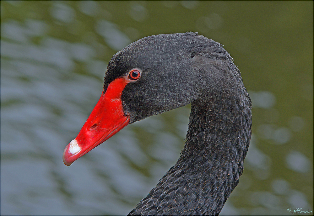 * BLACK SWAN *