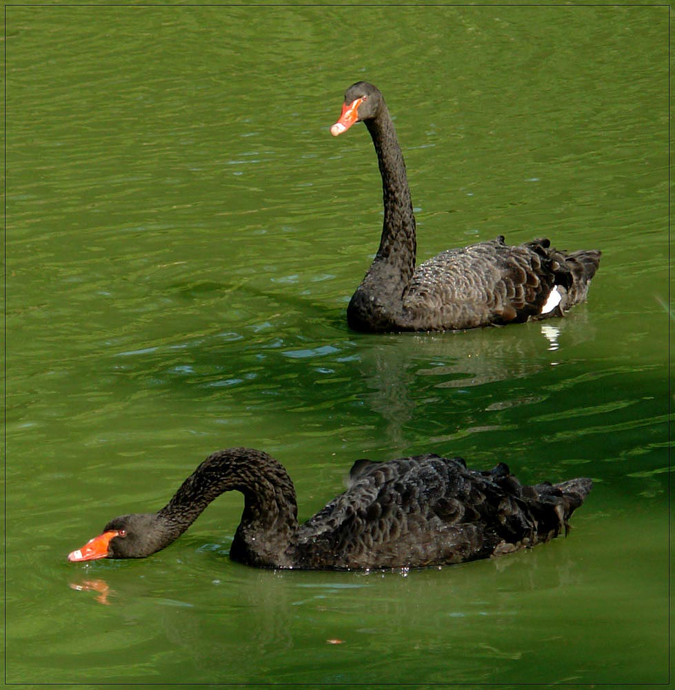 black swan V