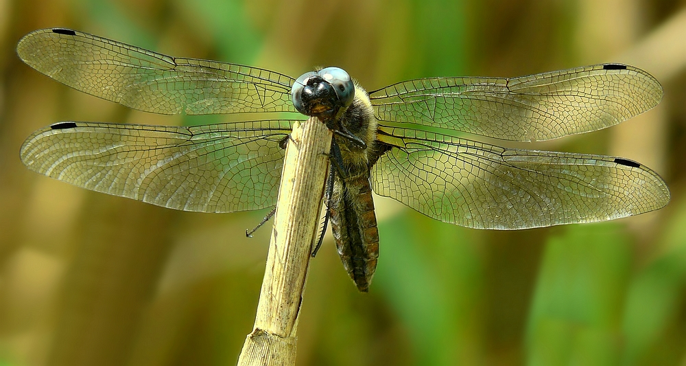 Black-tailed Skimmer