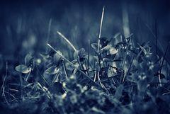 black violets