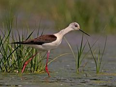 Black-winged Stilt II