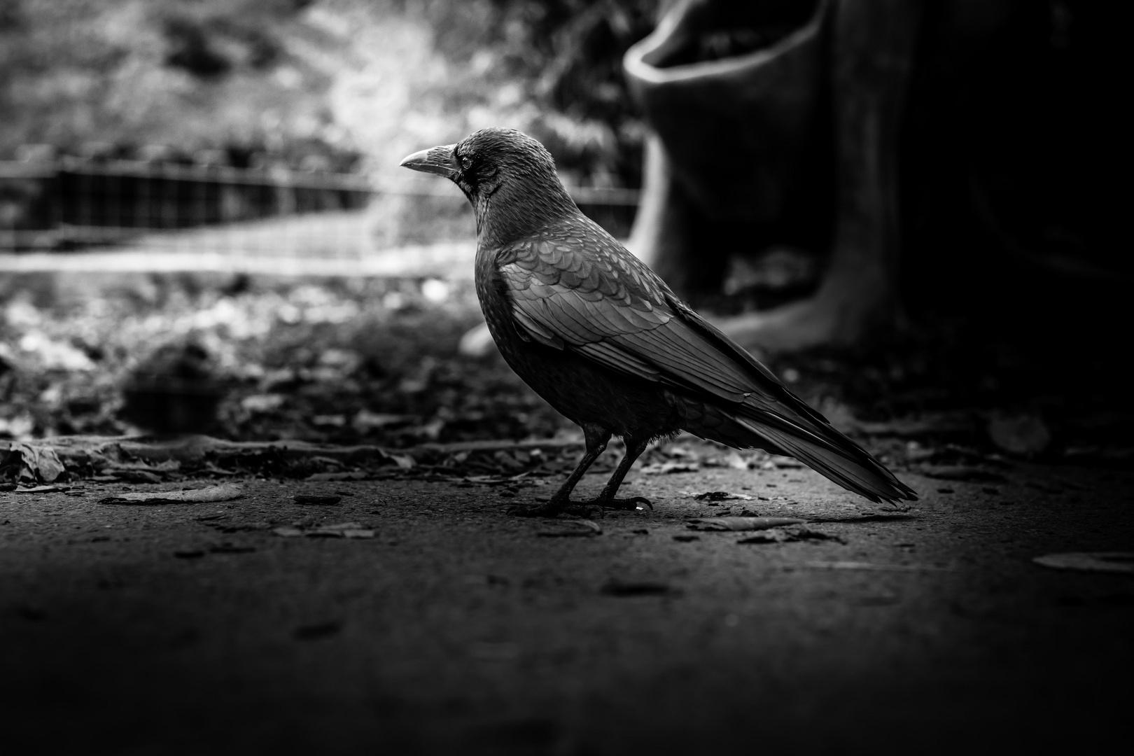 ...Blackbird