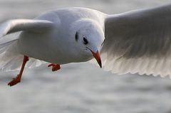 Blackheaded gull (winter)