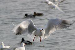 Blackheaded Gull (winter) II