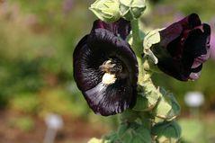 Blackhoneybee