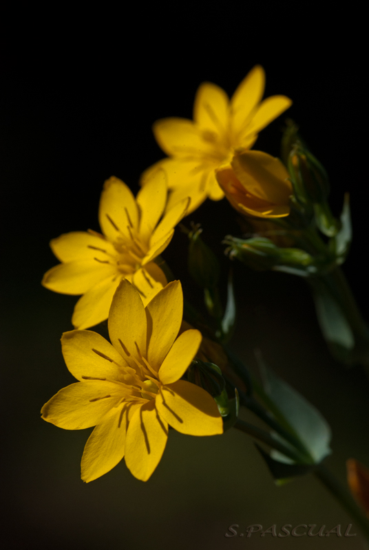 Blackstonia perfoliata.