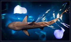 blacktip reef shark (carcharhinus melanopterus) @dubai aquarium